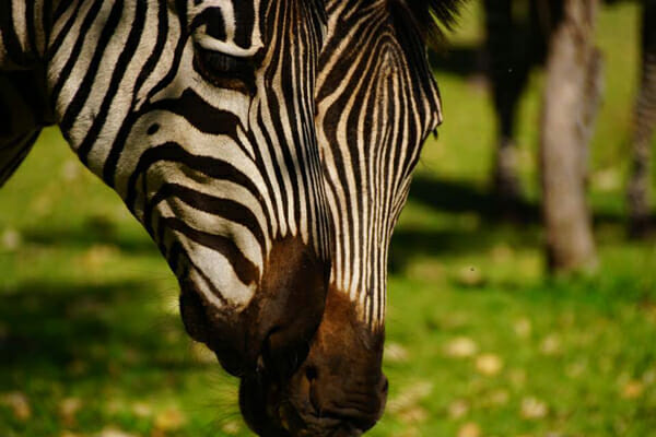 Livingstone-Zebras-600X400