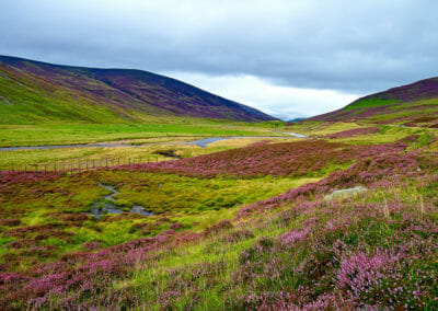 scotish-heather