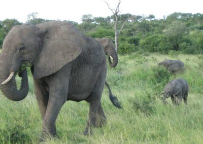 Elephants on a Game Drive, Londolozi Private Game Reserve, South Africa