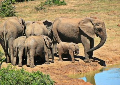 Elephants at a watering hole. On safari in South Africa