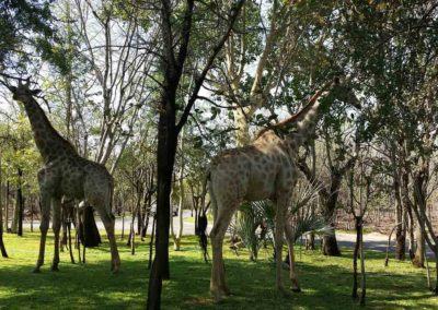 Giraffes on the grounds of the Royal Livingstone Hotel, Zambia