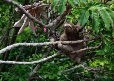 Sloth, Amazon Rainforest, Peru