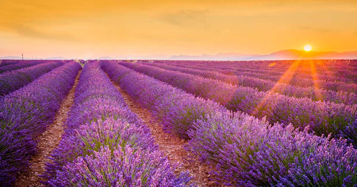 Sacred South of France, Lavender Fields
