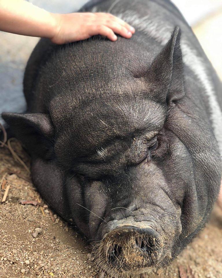 TCCC Hunkapi Farms Pot bellied pig