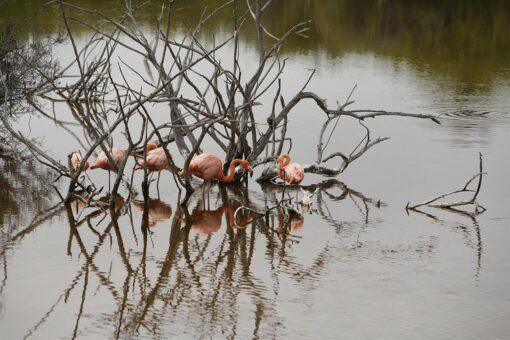 Galápagos Pink Flamingos