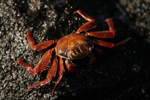 Galapagos ocean life - crab