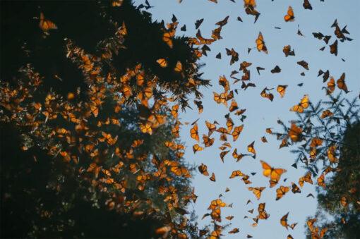 Monarchs Michoacán Mexico