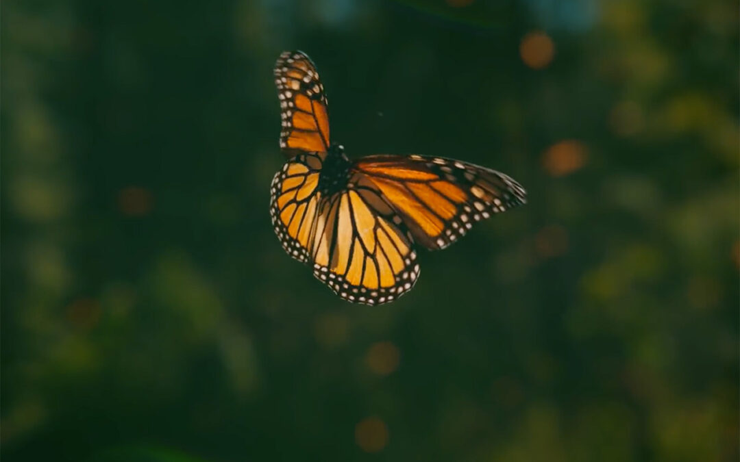 The Butterfly Effect – The Majesty of the Monarch Migration