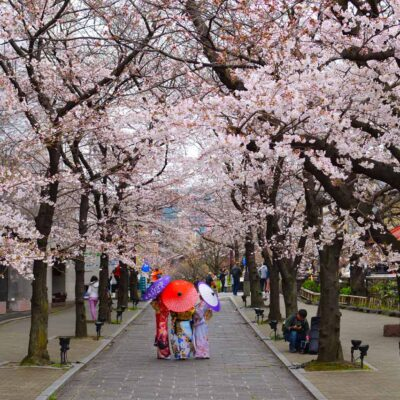 Cherry blossoms and parasols, Kyoto